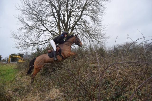 Smashing Irish Sports Horse for sale