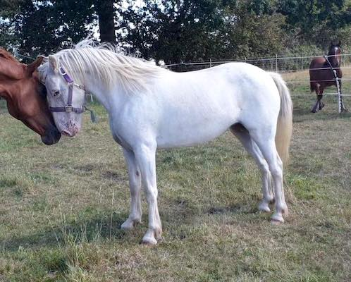 Lightly Backed, Lovely Appaloosa x Welsh Mare