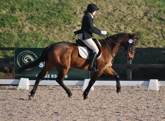 Andalusian x TB – Dressage / Hacking / RC