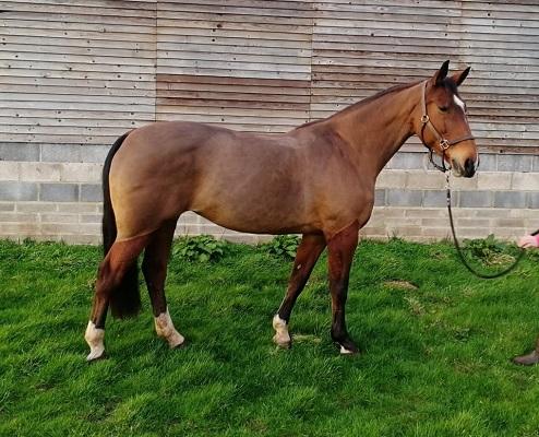 KWPN Grade B mare 1088 BS points