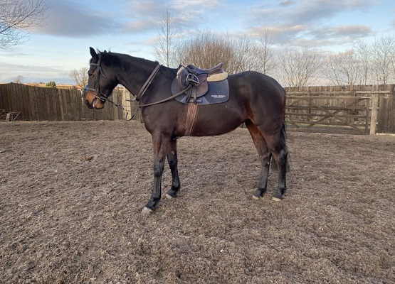 Super TB x Irish Draught Allrounder / Young Horse