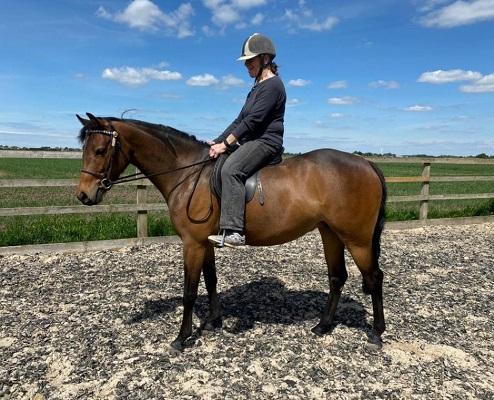 Partbred Connemara Riding Pony