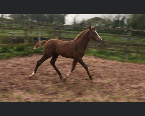 Top Event Bred Foal