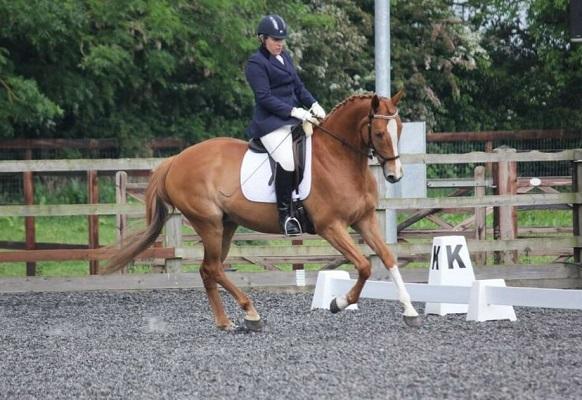 Quality TB Allrounder / Riding Club Horse