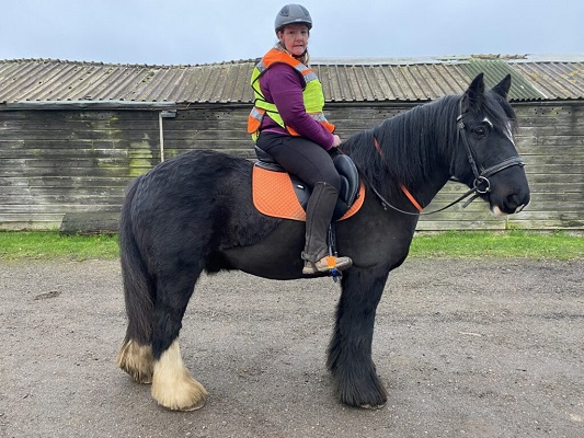 Irish Cob Gelding / Super Hack