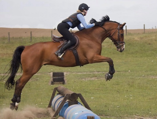 Eye catching Competition Gelding