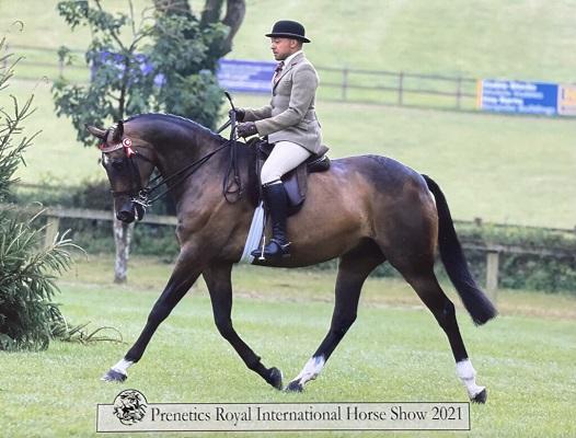 Top Show/ Dressage horse